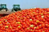 Tomat gröda — Stockfoto
