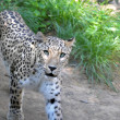 Stock Photo: Jaguar look
