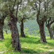 Stock Photo: Grove of olive trees