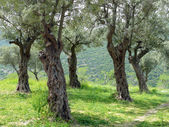 Grove of olive trees — Stock Photo