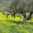 Olive grove in spring — Stock Photo