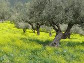 Olive grove in spring — Stock Photo
