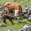 Newborn calf and cow — Stock Photo