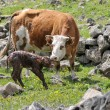 Stock Photo: Newborn calf and cow