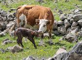 Newborn calf and cow — Stock Photo