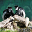 Stock Photo: colobus monkey