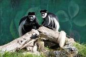 Colobus monkey — Stock Photo