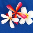 Frangipani — Stock Photo #1248582