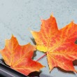 图库照片: Autumn maple leaf