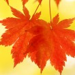 Autumn maple leaves — Stock Photo