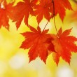 Autumn maple leaves — Stock Photo #1540604