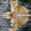 Female lion - Stock Photo