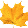 Autumn maple leaf isolated on white back — Stockfoto