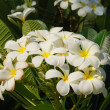 Plumeria — Stock Photo #1624244