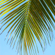 Palm leaf — Stock Photo #1624443