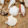 Shells in beach sand — Stock Photo #1625085