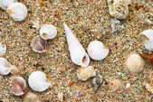 Shells in beach sand — Stock Photo