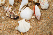 Shells in beach sand — Stock Photo