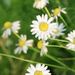 Chamomile background — Stock Photo