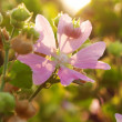 Dogrose background - Stock Photo