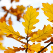 Autumn oak leaves — Stock Photo #1727088