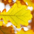 Autumn oak leaves — Stock Photo #1727114