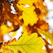 Autumn oak leaves — Stock Photo #1727142