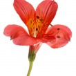 Alstroemeria flower — Stock Photo #1728282