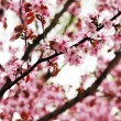 Spring sakura - Stock Photo