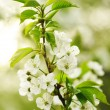 Spring cherry tree — Stock Photo