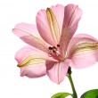 Alstroemeria flower — Stock Photo #1799401