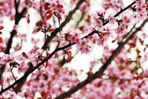 Spring sakura — Stock Photo