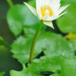 Water lily — Stock Photo #1815054