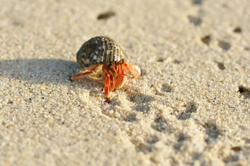 Hermit Crab on a beach — Stock Photo © haveseen #1814957