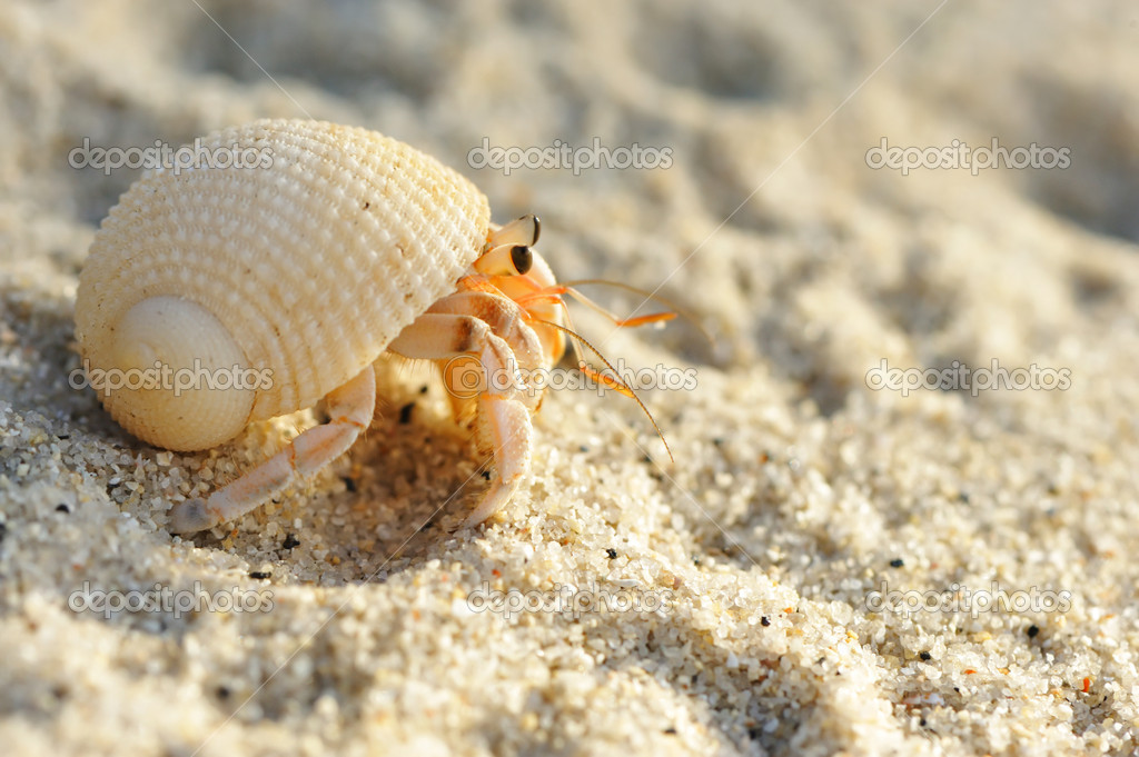 Hermit Crab on a beach — Stock Photo © haveseen #1825863