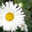 Stock Photo: Camomile