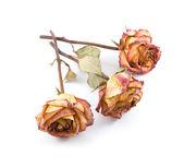 Dry roses — Stock Photo