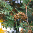 Thuja — Stock Photo #1221123