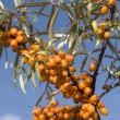 SEBUCKTHORN BERRIES — Stock Photo #1221495
