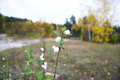 Symphoricarpos — Stock Photo