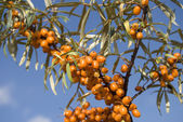 SEA BUCKTHORN BERRIES — Stock Photo