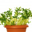 Green seedlings growing in the clay pot — Stock Photo