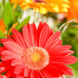 Red gerbera flower agaisnt green blurred — Stock Photo