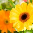 Yellow gerbera flower agaisnt green blur — Stock Photo