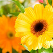 Stock Photo: Yellow gerberflower agaisnt green blur