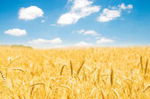 Wheat field on the bright summer day — Stock Photo