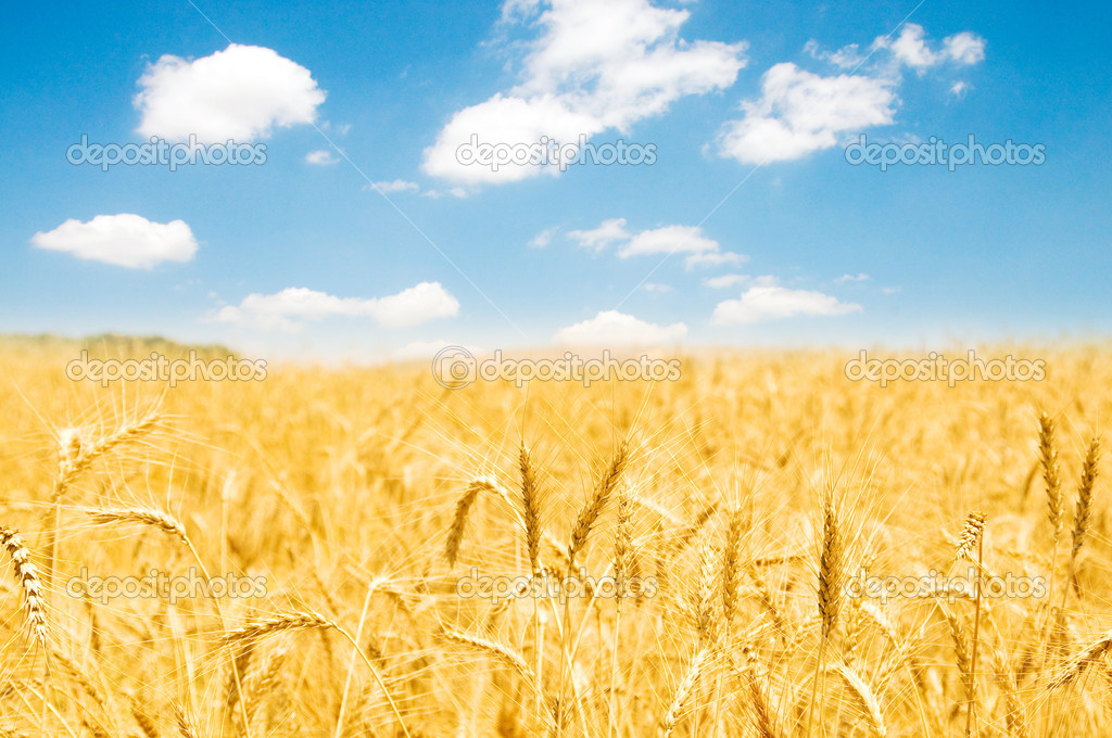 Wheat field on the bright summer day — Stock Photo #1256082