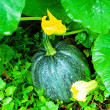 Ripen pumpkin on the field - Stock Photo