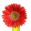Gerbera flower isolated on the white — Stock Photo