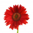 Gerbera flower isolated — Stock Photo
